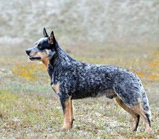 Wikipedia_Eva Holderegger Walser_Australian Cattle Dog Silverbarn's Ulfi