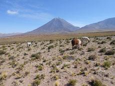 Seine Lama laufen frei rum - selbst an der Straße zum Paso Jama