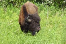 Vom Alaska Hwy aus zwischen Whitehorse und Watson Lake sehen wir einige wilde Bisons