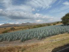 Agave-Feld nahe Tequila -7 Jahre muß der Kaktus wachsen ...