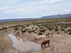 Rinderzucht ist trotz Wasser offenbar nicht moeglich - man sieht nur Lamas