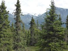 Unsere Wanderungen Im Kluane N.P.  sind nicht ganz unbeschwert. Der Ranger meint, gestern wurde ein Grizzly gesehen. Außerdem stehen am Trail einige Gedenktafeln über Leute, die von Grizzlys getötet wurden. ...