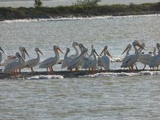 Nach Pelikanen...