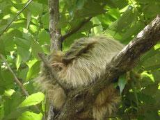 Faules Faultier hoch oben am Baum