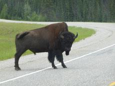 Südlich von Watson Lake: Bisons, Bisons, Bisons, ......
