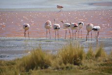 Laguna Colorada: Flamingos 3