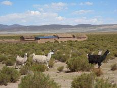 Lamas sind ab jetzt unsere stetigen Begleiter
