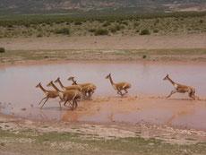 ... und Vicuna-Herden saeumen den Weg