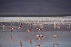 Laguna Colorada: Flamingos 2