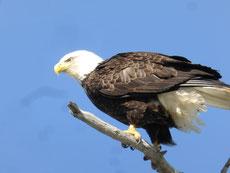 ...während wir Weißkopfseeadler sehr häufig sehen