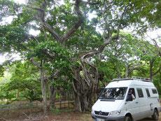 Einen selten so vewachsenen Baum gesehen - bei San Juan del Sur