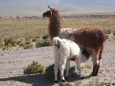 Die Lamas sind weitgend Selbstversorger, doch am Abend holt sie der Lama-Bauer mit seinen Hunden in den Stall