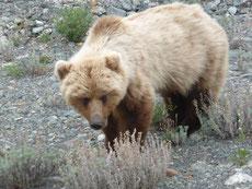 ... Prompt begegnen wir einen solchen. Er blickt manchmal hoch in unsere Richtung, frißt aber weiter. Wir ziehen uns mit dem Bären-Pfefferspray im Anschlag langsam und vorsichtig von dannen.