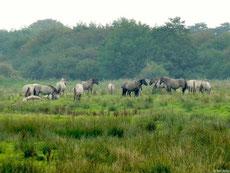 Wildpferde / Koniks in der Geltinger Birk