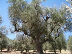 Olivenhain in Kerinia