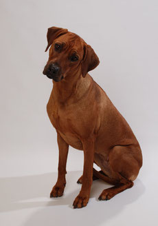Nanga als Junghund
