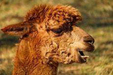 alpaga fiche animaux camelides