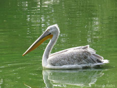 pelican frisé