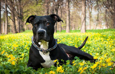 american staff stafforshire terrier fiche chien comportement caractere origines poils sante