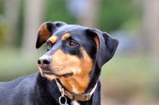 doberman caractere origine sante poil couleur entretien fiche chien