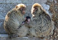 macaque berbere singe magot