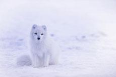 isatis renard polaire