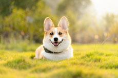 welsh corgi caractere origine sante poil couleur entretien fiche chien
