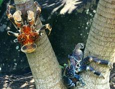 crabe des cocotiers