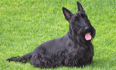 scottish terrier caractere origine sante poil couleur entretien fiche chien