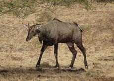 nilgaut antilope