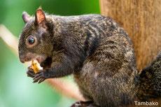 ecureuil du yucatan