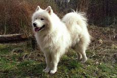 samoyede caractere origine sante poil couleur entretien fiche chien