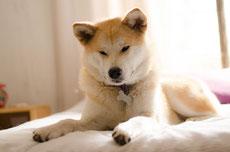 Akita inu caractere origine sante poil entretien fiche chien