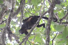 singe hurleur noir