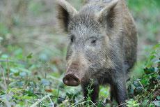 sanglier taille poids longevite habitat alimentation