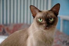 burmese caractere origine sante poil couleur entretien fiche chat