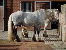 percheron caractere origine robe sante fiche cheval