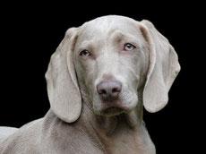 braque de weimar fiche race chien animaux caractere comportement origine poil couleur sante