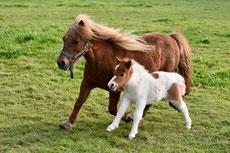 poney shetland caractere origine robe sante fiche cheval