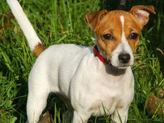jack russel terrier caractere origine sante poil couleur entretien fiche chien