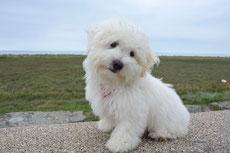 coton de tulear caractere origine sante poil couleur entretien fiche chien