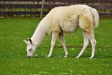 lama fiche animaux camelides