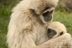 gibbon lar à mains blanches