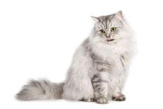 siberien caractere origine sante poil couleur entretien fiche chat