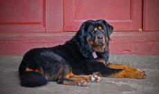 dogue du tibet caractere origine sante poil couleur entretien fiche chien