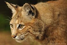 lynx roux ou bobcat