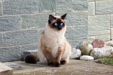 siamois caractere origine sante poil couleur entretien fiche chat