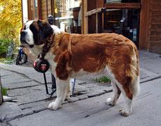 saint bernard caractere origine sante poil couleur entretien fiche chien