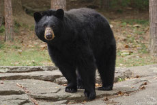 baribal ours noir