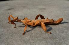 phasme scorpion à tiare